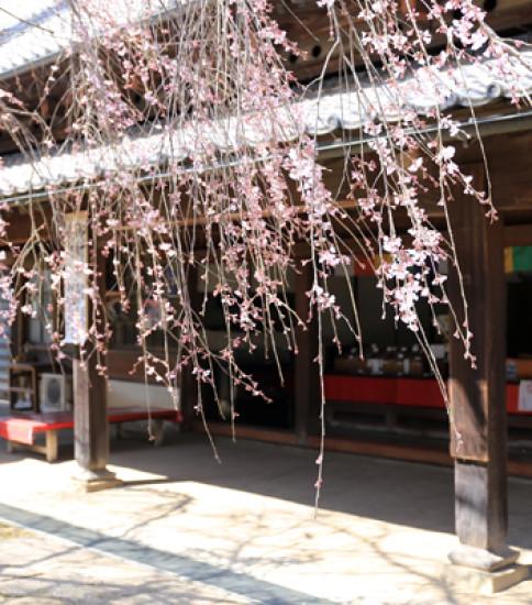 3.25 筑波山麓桜の開花状況【泉子育て観音】