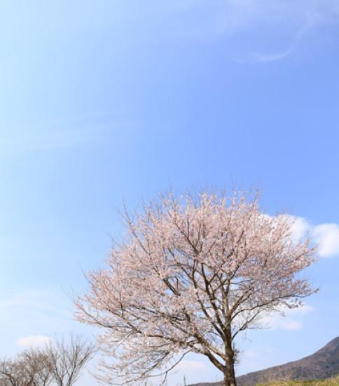 3.29 筑波山麓桜の開花状況【燧が池】
