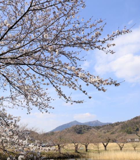 3.29 筑波山麓桜の開花状況【北条大池】