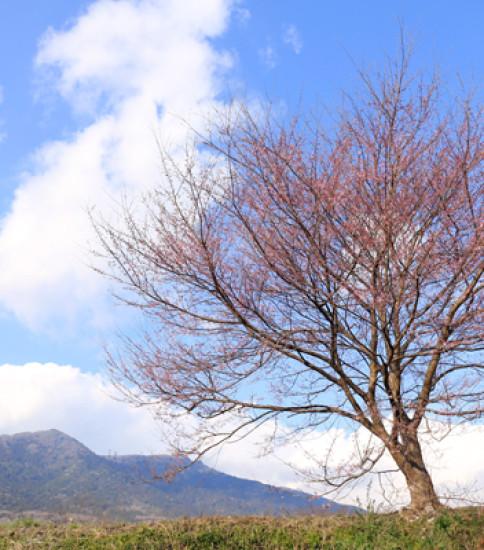 3.24 筑波山麓の桜の開花情報!