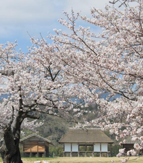 筑波山麓の桜の開花予想!