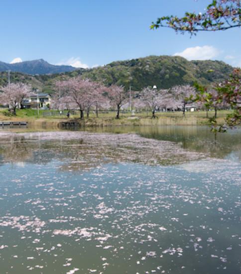 桜から新緑の季節へ【北条大池】