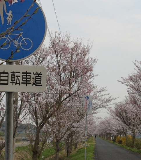 4.7 筑波山麓桜の開花状況【りんりんロード】