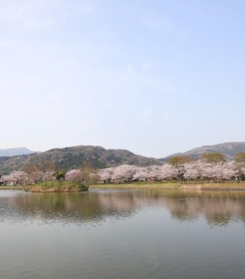 4.6 筑波山麓桜の開花状況【北条大池】