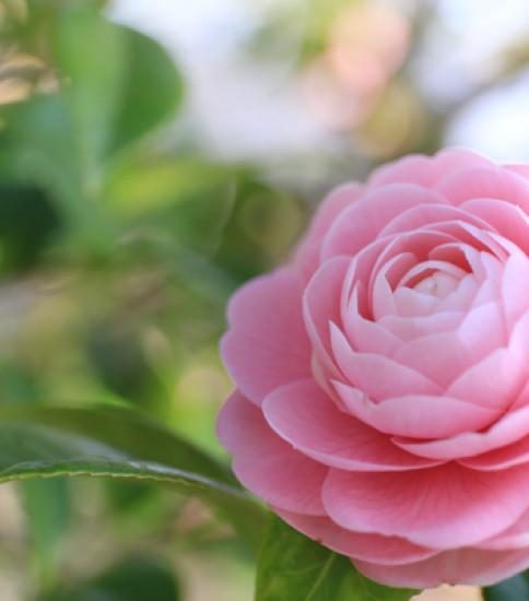 3.31 筑波山麓桜の開花状況【北条大池】