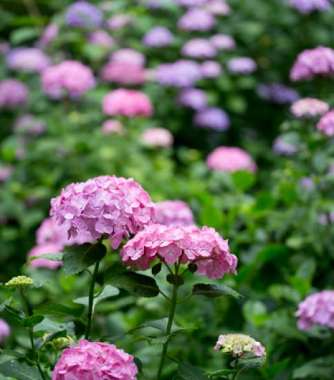 筑波山梅林の紫陽花が見頃です!