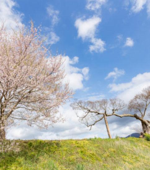 筑波山麓桜の開花状況_2017.4.7【燧が池周辺の桜並木】