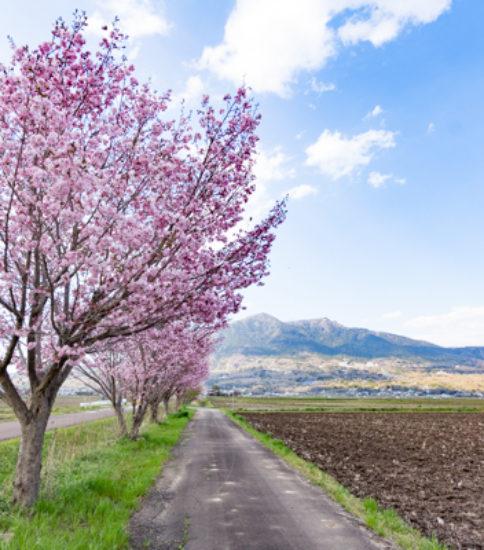 筑波山麓桜の開花状況_2017.4.13【りんりんロード】