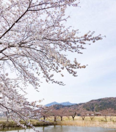 筑波山麓桜の開花状況_2017.4.5【北条大池】