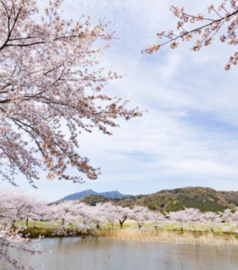 筑波山麓桜の開花状況_2017.4.10【北条大池】