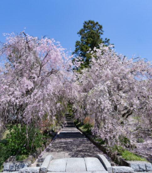 筑波山麓桜の開花状況_2017.4.19【性山寺】