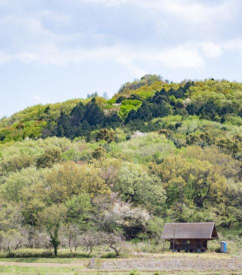筑波山麓桜の開花状況_2017.4.19【山桜】