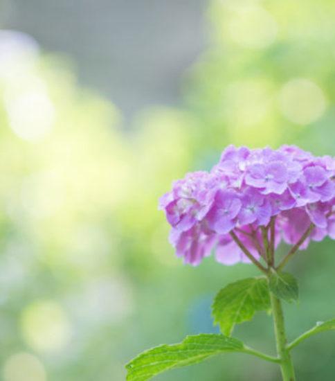 筑波山梅林で紫陽花撮影会を行いました♪