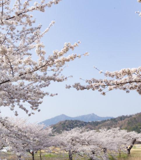 2018.3.29_筑波山麓桜の開花状況【北条大池】