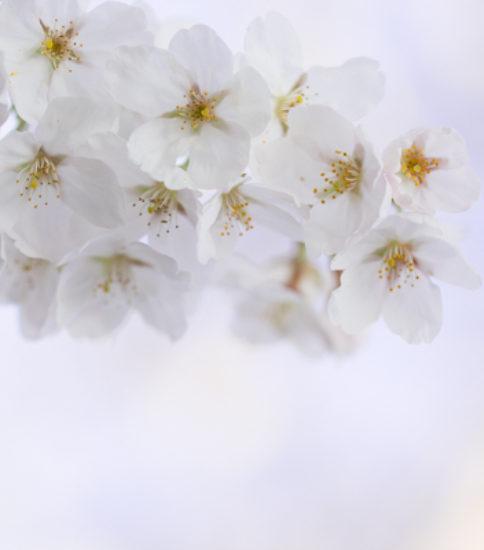 2018.3.26_筑波山麓桜の開花状況【北条大池】