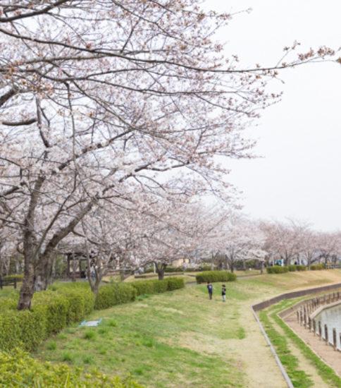 2018.3.27_筑波山麓桜の開花状況【北条大池】