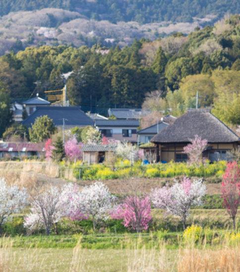 2018.3.31_筑波山麓花の開花状況【六所】