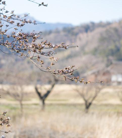 2019.3.26_筑波山麓桜の開花状況【北条大池】