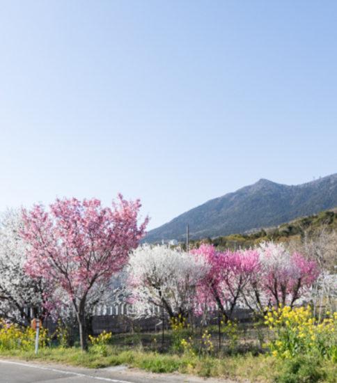 「六所の花桃」が見頃になりました!