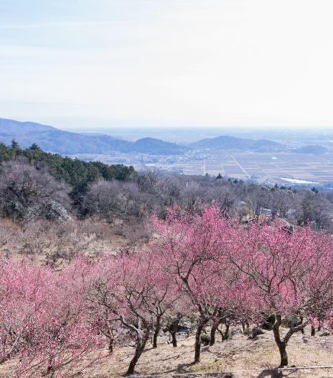 2020.2.7「筑波山梅林の紅梅が見頃を迎えています!」