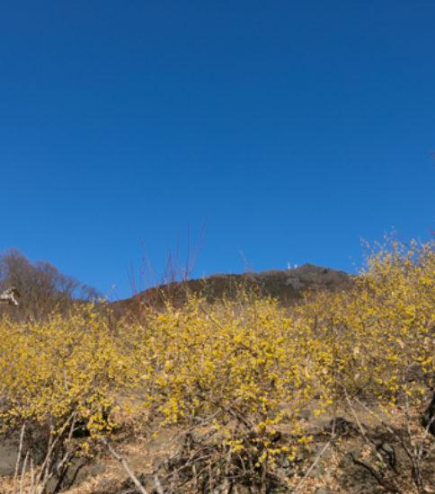 筑波山梅林の梅が咲き始めました!