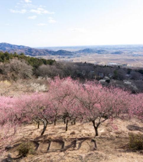 2/16(土)〜3/21(木・祝)「筑波山梅まつり」開催!