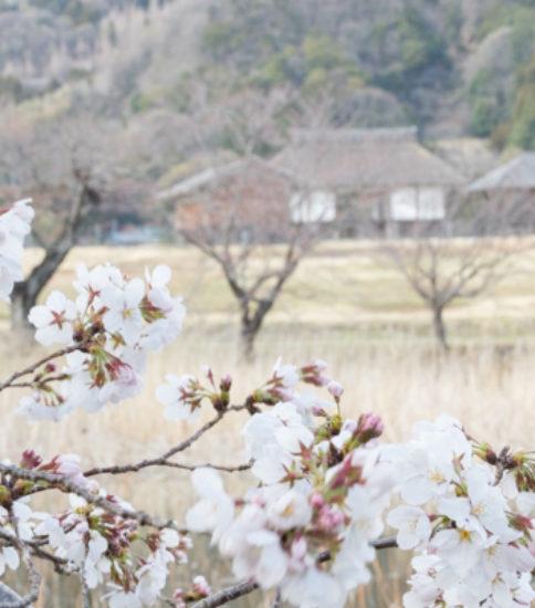 2019.3.28_筑波山麓桜の開花状況【北条大池】