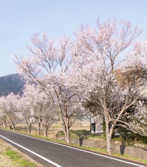 2019.3.28_筑波山麓桜の開花状況【燧ケ池、りんりんロード周辺】