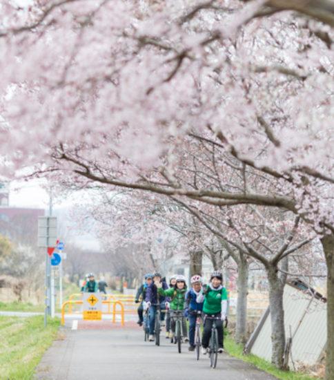 2019.3.31_筑波山麓桜の開花状況【燧ケ池、りんりんロード周辺】