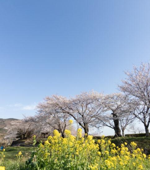 2019.4.5_筑波山麓桜の開花状況【北条大池、新池周辺】