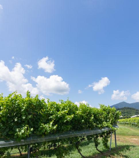 つくばワイナリー醸造所見学と筑波山麓スイーツツアー」中止になりました